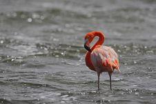 Caribbean Flamingo (Phoenicopterus Ruber) Stock Images