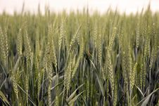 Free Green Wheat Field Stock Photos - 9968853