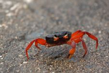 Wounded Red Crab Royalty Free Stock Images