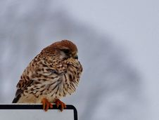 Free Kestrel Bird Winter Stock Images - 99603064