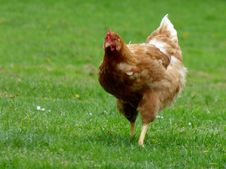 Free Chicken Them Brown Stock Photography - 99603092
