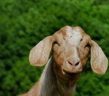 Free Mischievous Goat Stock Photo - 99603370