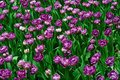 Free Field Of Tulips Royalty Free Stock Image - 9977736