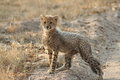 Free Cheetah Cub Stock Image - 9979231