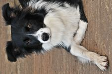 Resting Pup Royalty Free Stock Images