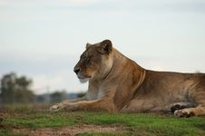 Free Majestic Lioness Royalty Free Stock Images - 9972509
