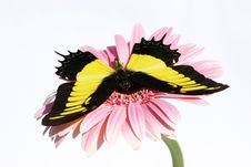 Free Butterfly Royalty Free Stock Image - 9972606