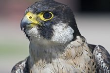 Peregrine Falcon Falco Peregrinus Royalty Free Stock Photo