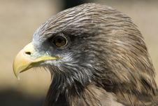 Free Yellow-billed Kite Milvus Aegyptius Royalty Free Stock Photography - 9973857