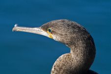 Free Cape Cormorant Stock Images - 9974524