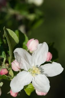 Free White Apple Blossoms Royalty Free Stock Images - 9974829