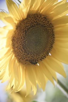 Free Sunflower / Soft Toning / Pleasant Pastel Colors Stock Photo - 9975230