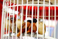 Free Birds In Cage Royalty Free Stock Photography - 9976057