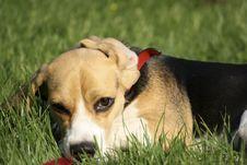Free Beagle Stock Photo - 9976060
