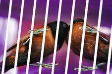 Birds Kissing In Cage Royalty Free Stock Photo