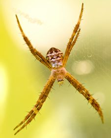 Free Lynx Spider With Spikey Legs Stock Image - 9976601