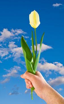Free Tulip Royalty Free Stock Photos - 9976658
