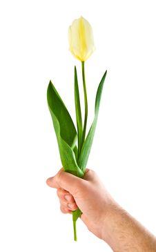 Free Tulip Royalty Free Stock Photography - 9976977