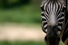 Free Close-up Portrait Of A Zebra Royalty Free Stock Images - 9976979