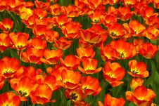 Free Tulips Carpet Royalty Free Stock Photo - 9977685