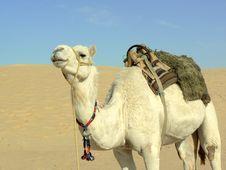Free White Camel In Desert Stock Images - 9978764
