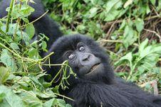 Free Gorilla Stock Photo - 9978800