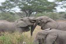 Free Elephants Fighting Royalty Free Stock Photography - 9979047