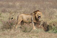Free Lion Yawning Stock Image - 9979091