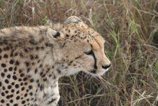 Free Cheetah Stock Image - 9979161