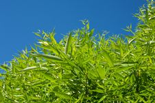 Free Bright Blue Sky And Green Tree Royalty Free Stock Photos - 9979188