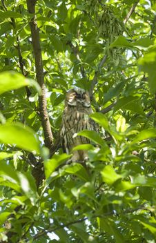 Free Wild Eagle Owl Royalty Free Stock Photography - 9979757