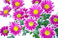 Free Flower, Flowering Plant, Marguerite Daisy, Garden Cosmos Stock Photos - 99752313