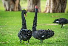 Free Black Swan, Bird, Water Bird, Ducks Geese And Swans Royalty Free Stock Photography - 99752917