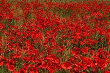 Free Flower, Red, Field, Wildflower Stock Image - 99753741