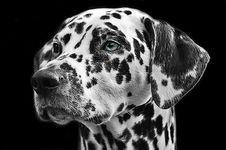 Free Dog Like Mammal, Dog, Black And White, Black Royalty Free Stock Photo - 99753835