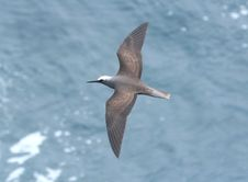 Free BLACK NODDY &x28;9-10-2017&x29; Holei Sea Arch, Chain Of Craters Road, Hawai I Volcanoes National Park, Hawai.i Co, Hawaii Stock Image - 99789341