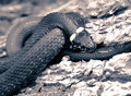 Free Grass-snake Close-up Toned Stock Image - 9986601