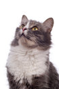 Free Furry Grey Cat Royalty Free Stock Photo - 9988025