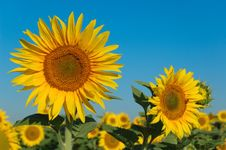 Free Golden Sunflowers Stock Images - 9980454
