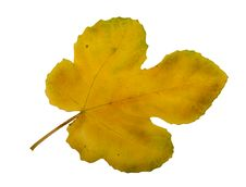 Free Yellow Fall Leaf Stock Image - 9981091