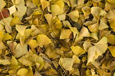 Free Pile Of Yellow Ginkgo Leaves In Fall Stock Photo - 9981160