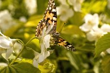 Free Brown Butterfly On A White Flower Stock Image - 9981401