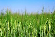 Green Ear Of Rye Before Harvest Royalty Free Stock Photography