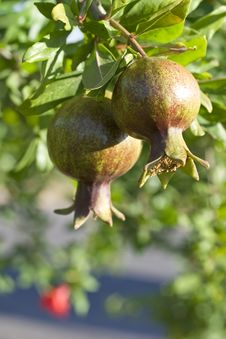 Free Single Pomegranate Stock Photography - 9982772