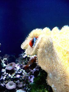 Free Shy Clown Fish Stock Image - 9983681
