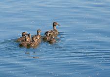 Free Ducks Royalty Free Stock Photo - 9984175