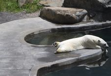 Sleeping Polar Bear Royalty Free Stock Photos