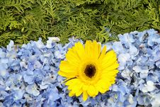 Free Yellow Daisy Royalty Free Stock Image - 9986046