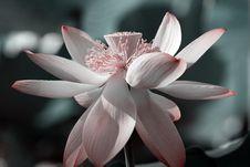 Lotus Blooming Royalty Free Stock Photography