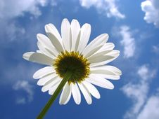Free White Daisy Stock Photos - 9987443